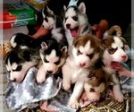 Siberian Husky Puppy For Sale in LEHIGHTON, PA, USA