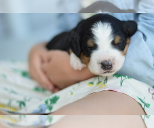 Bernedoodle Litter for sale in CRESTON, OH, USA