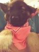 German Shepherd Dog Puppy For Sale in ALDRICH, MO, USA
