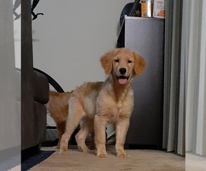Golden Retriever Litter for sale in SAN JOSE, CA, USA