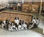 Saint Bernard Puppy For Sale in MORSE BLUFF, NE, USA