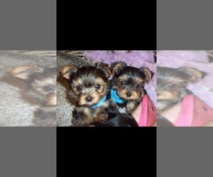 Yorkshire Terrier Litter for sale in STKN, CA, USA