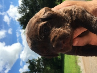 Labrador Retriever Litter for sale in DIKE, TX, USA