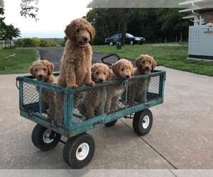 Poodle (Standard) Litter for sale in ARCADIA, OK, USA