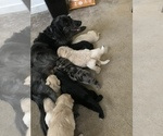 F2 Aussiedoodle Puppy For Sale in ROYALSTON, MA, USA