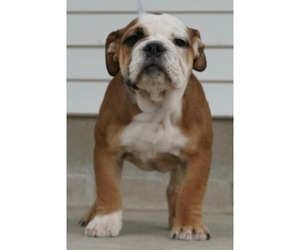 Medium Beabull-English Bulldog Mix