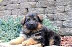 German Shepherd Dog Puppy For Sale in LONGVIEW, WA, USA