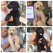 Labradoodle-Poodle (Standard) Mix Puppy For Sale in TINGLEY, IA, USA