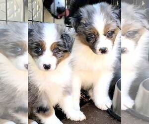 Puppies For Sale Near Middleburg Florida Usa Page 1 10 Per