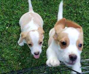 Beagle Litter for sale in PLATTEVILLE, WI, USA