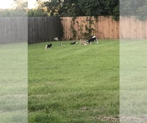 Siberian Husky Litter for sale in DICKINSON, TX, USA