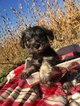 Schnauzer (Miniature) Puppy For Sale in BELLEVILLE, PA, USA