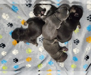 French Bulldog Litter for sale in FRANKLINVILLE, NJ, USA
