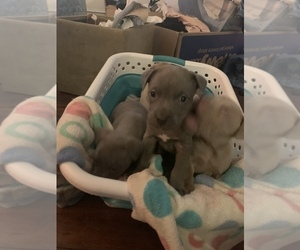 American Pit Bull Terrier Litter for sale in WILLOW SPRING, NC, USA