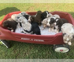Australian Shepherd Litter for sale in ROCK SPRING, GA, USA
