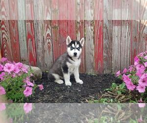 Siberian Husky Litter for sale in SUGARCREEK, OH, USA
