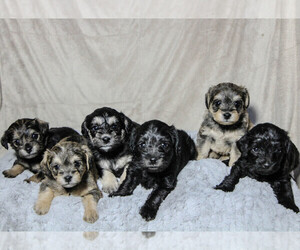 Schnoodle (Miniature) Litter for sale in AURORA, CO, USA