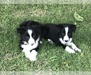 Border Collie Litter for sale in MERCED, CA, USA