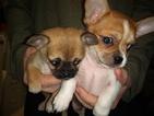 Cheeks Puppy For Sale in MOUNT DORA, FL, USA