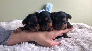 Yorkshire Terrier Litter for sale in BOWLING GREEN, MO, USA