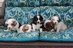 Miniature Australian Shepherd Puppy For Sale in CASTLE ROCK, CO, USA