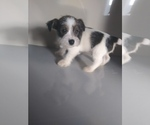 Small Jack Russell Terrier-Schnauzer (Miniature) Mix