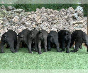 Cane Corso Litter for sale in NARVON, PA, USA