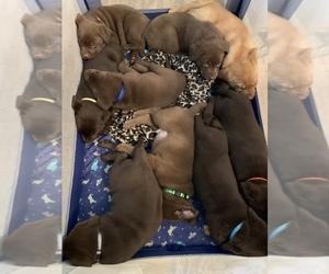 Labrador Retriever Litter for sale in SPOTSYLVANIA, VA, USA