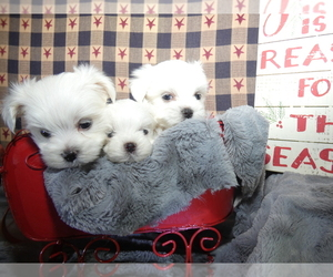 Maltese Litter for sale in MOMEYER, NC, USA