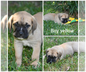 Cane Corso Litter for sale in HOUSTON, TX, USA