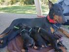 Doberman Pinscher Puppy For Sale in CEDAR CREST, NM, USA