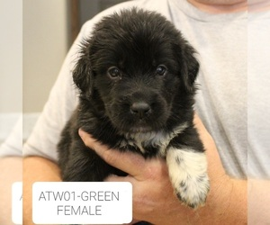 Great Pyrenees-Newfoundland Mix Litter for sale in BERESFORD, SD, USA
