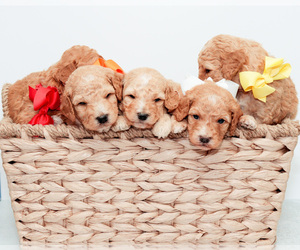 Goldendoodle (Miniature) Litter for sale in LITTLE ROCK, AR, USA