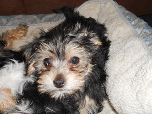Poodle (Toy)-Yorkshire Terrier Mix Litter for sale in SEDALIA, MO, USA