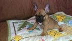 French Bulldog Puppy For Sale in EAST ELLIJAY, GA, USA