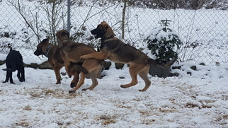Malinois Litter for sale in ORCHARDS, WA, USA
