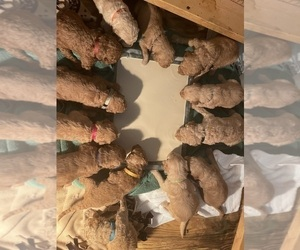 Goldendoodle Litter for sale in FORT MYERS, FL, USA