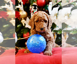 Goldendoodle Litter for sale in SAINT CLAIR SHORES, MI, USA