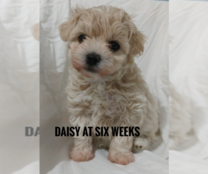 Maltipoo Litter for sale in KERRVILLE, TX, USA