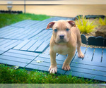 American Bully Puppy For Sale in OVERLAND, KS, USA