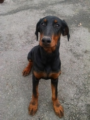 Doberman Pinscher Litter for sale in GLEN ALLEN, VA, USA