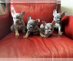 French Bulldog Puppy For Sale in ELK CITY, OK, USA