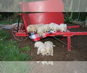 Goldendoodle Litter for sale in PORT TREVORTON, PA, USA