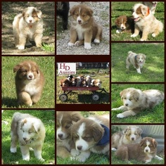 Australian Shepherd Litter for sale in CLEBURNE, TX, USA