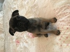 Buggs Puppy For Sale in VINTON, VA, USA