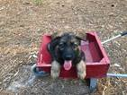 German Shepherd Dog Puppy For Sale in MURCHISON, TX, USA