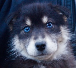 Pomsky Litter for sale in NAPPANEE, IN, USA