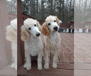 Poodle (Standard) Litter for sale in WAUSAUKEE, WI, USA