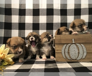 Pembroke Welsh Corgi Litter for sale in AYERSVILLE, NC, USA