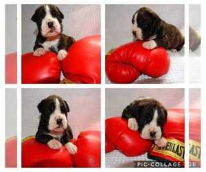 Boxer Litter for sale in BAY SHORE, NY, USA
